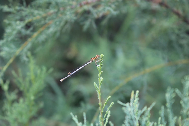 A dragonfly rests on a Tamarisk shrub