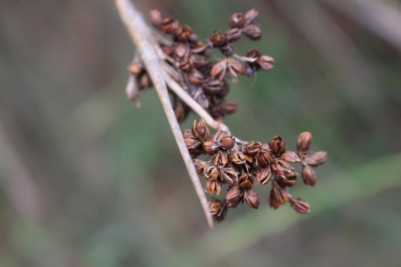 Dried seed head