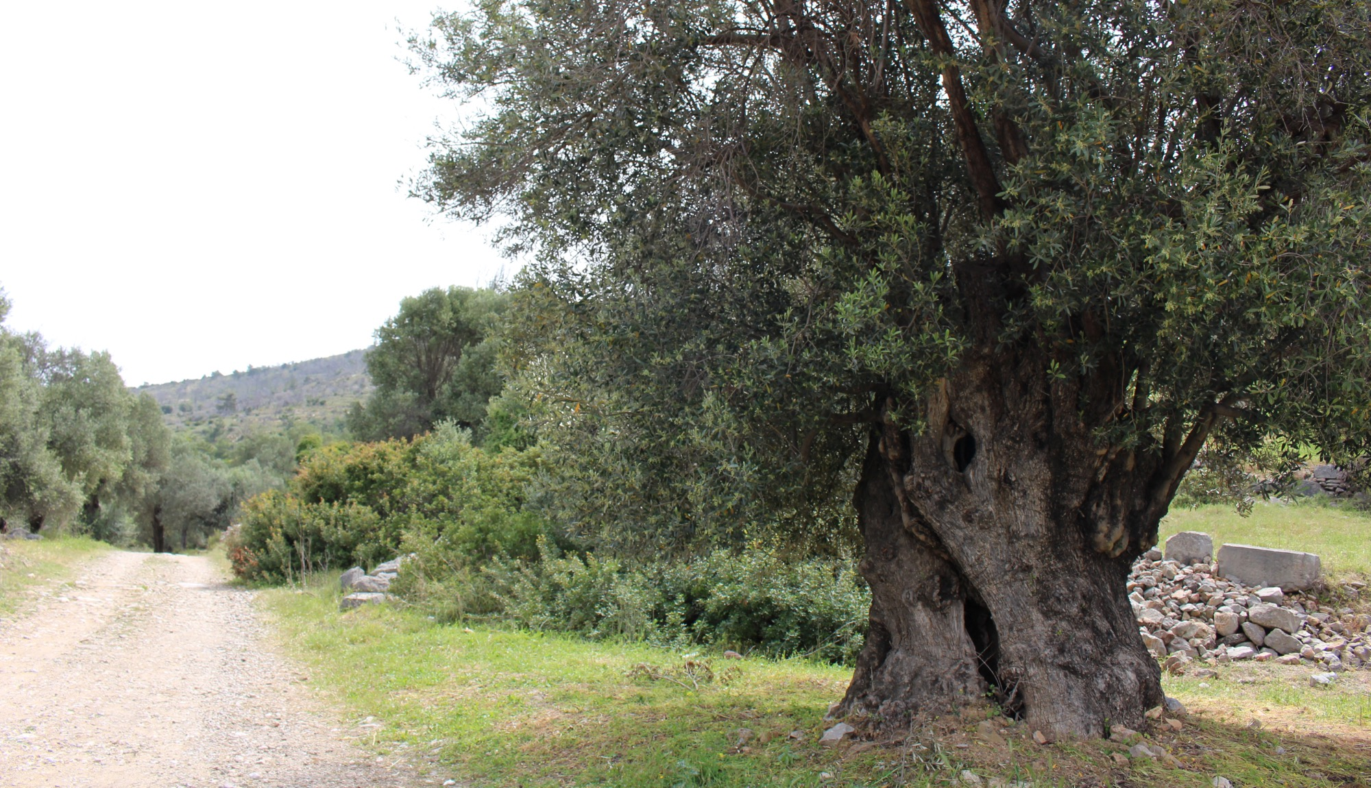 An ancient olive tree beside the road
