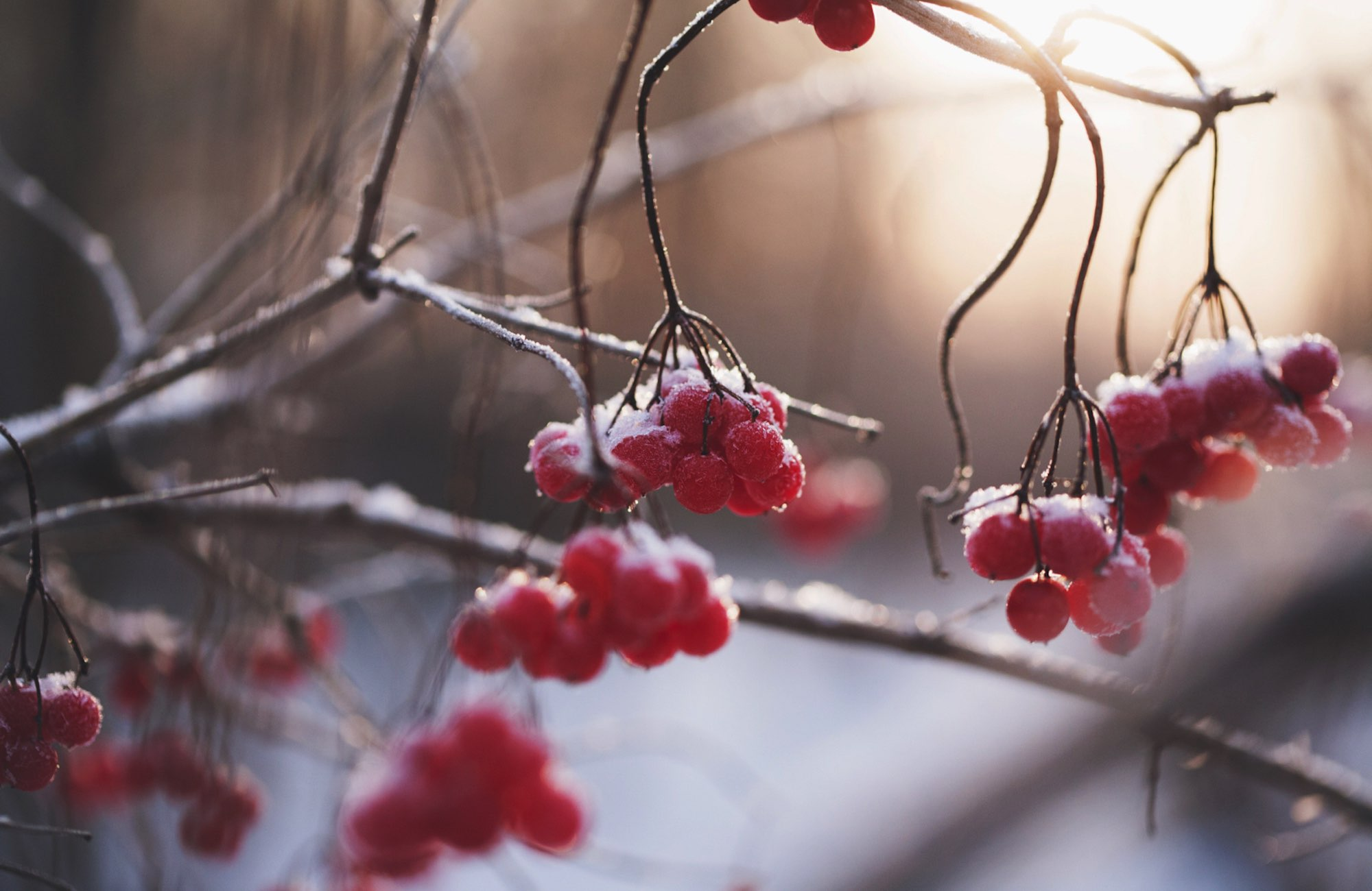 ice and snow covered red berries