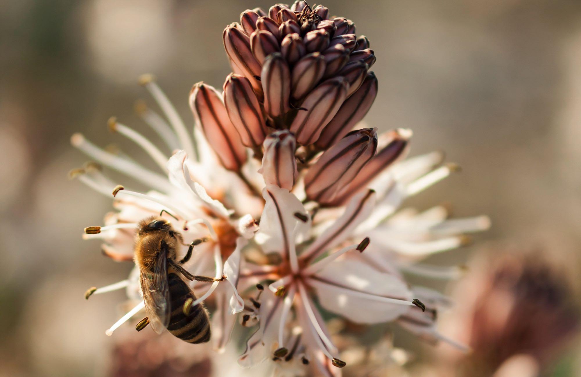 a bee resting on an asphodel bloom