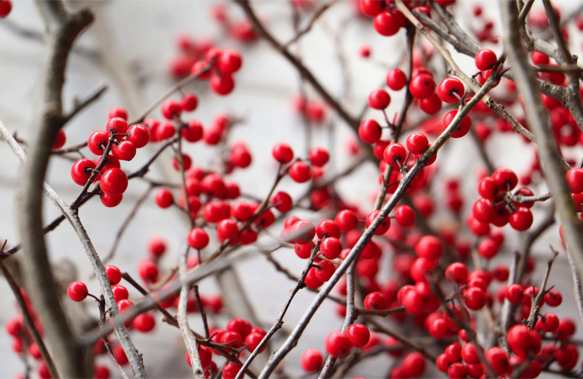bright red berries on bare branches