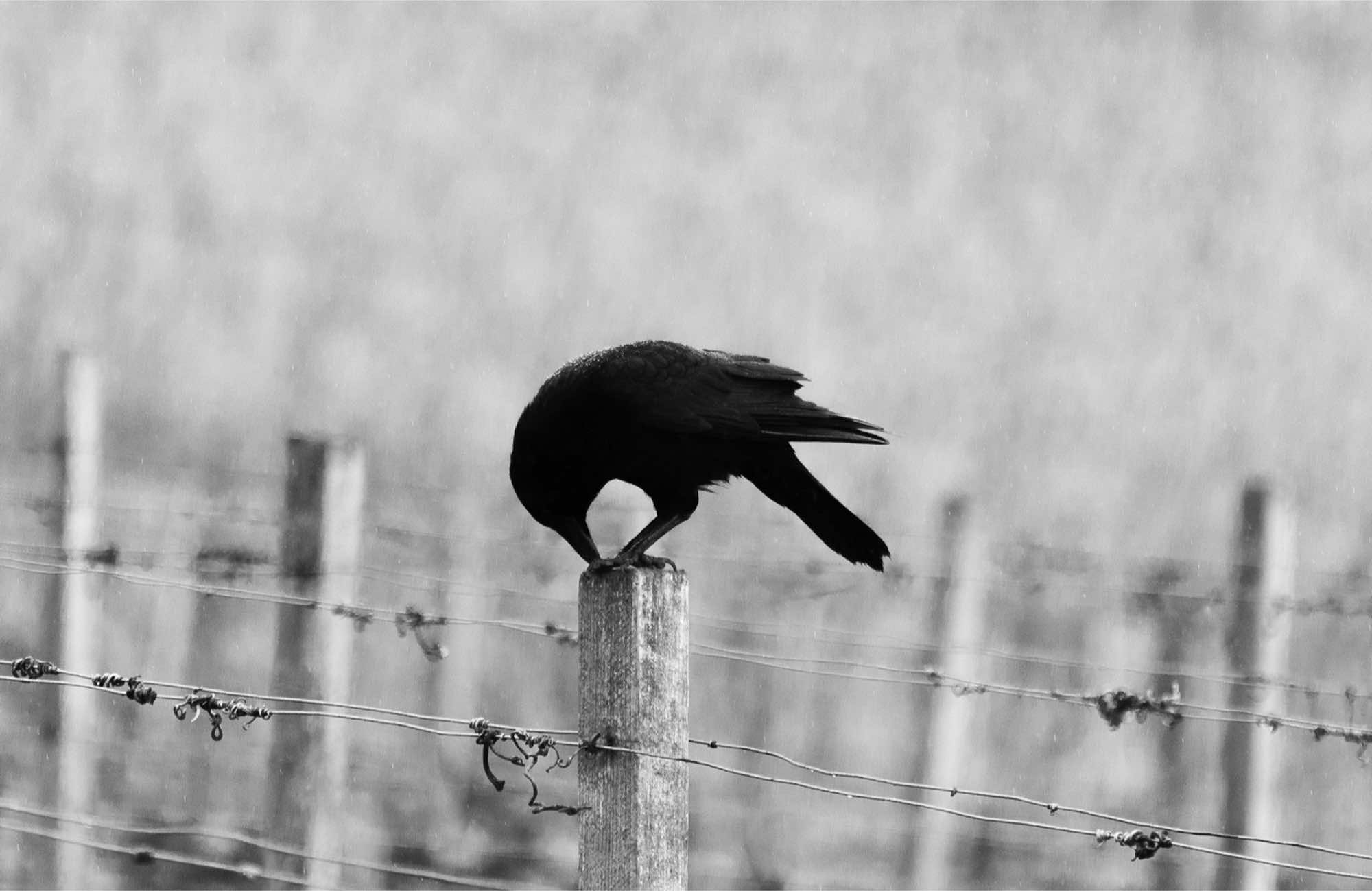 a crow on a fence post