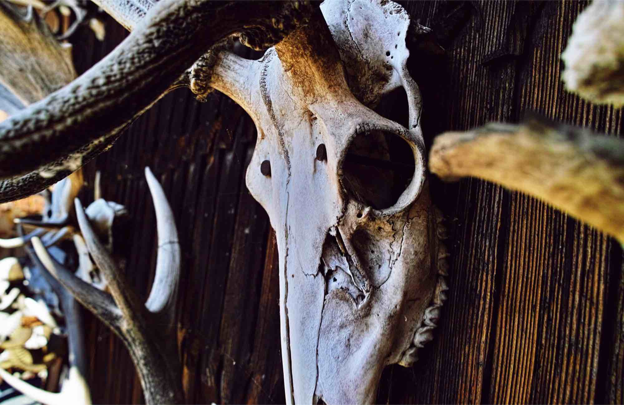 An animal skull mounted on a wall