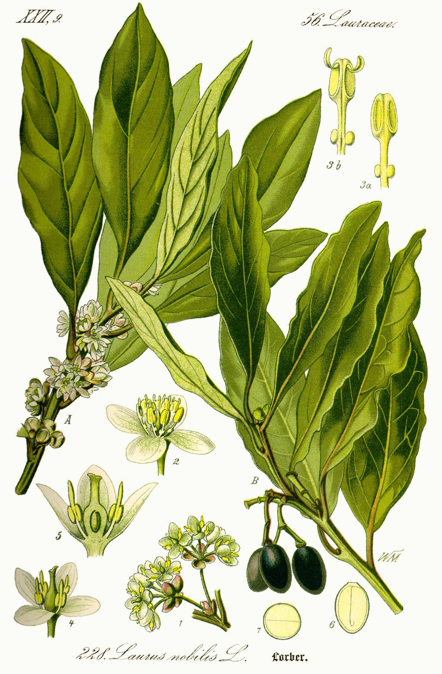 Botanical drawing of bay leaves, branches and flowers