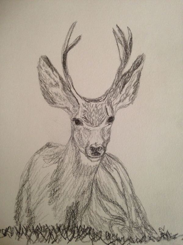 A pencil drawing of a deer sitting in the grass