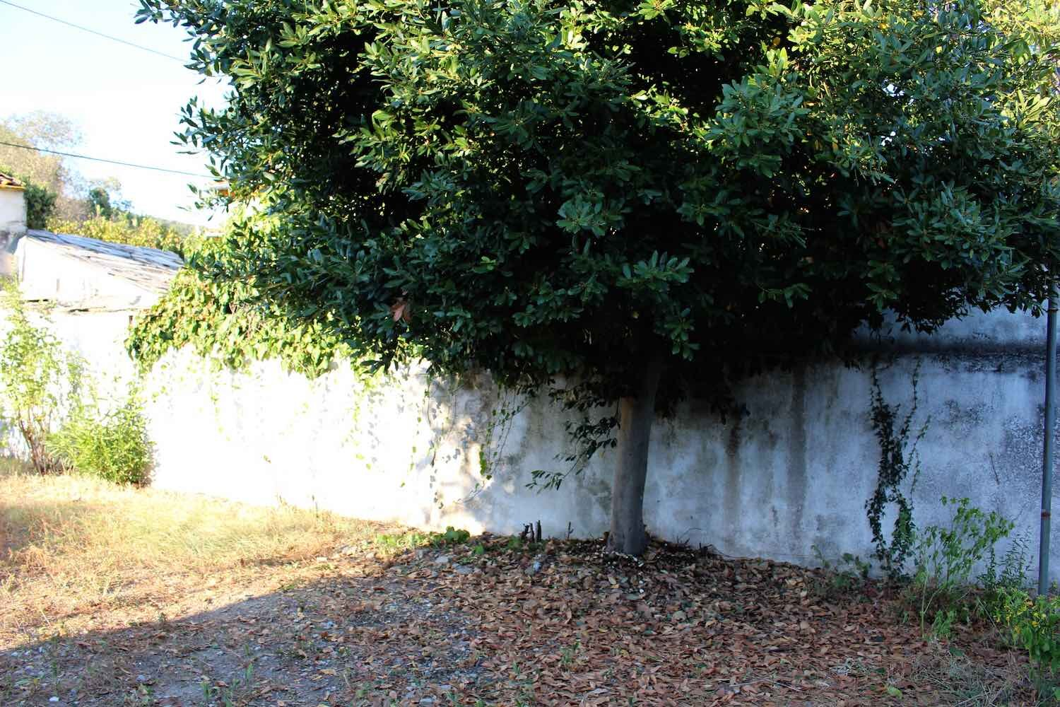 A bay laurel tree growing against a wall
