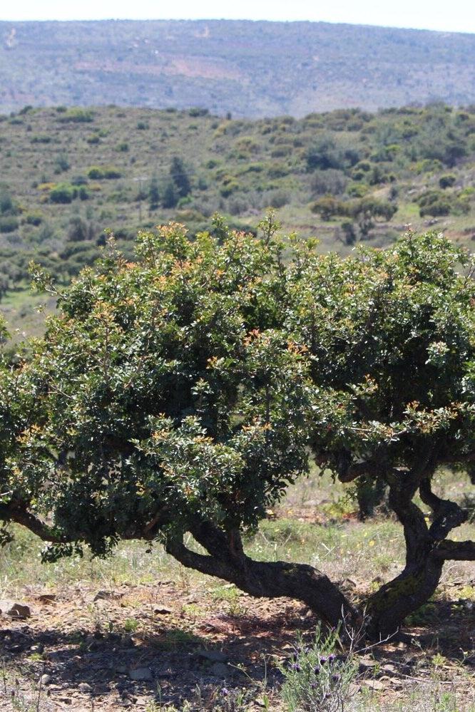 A Mastic tree