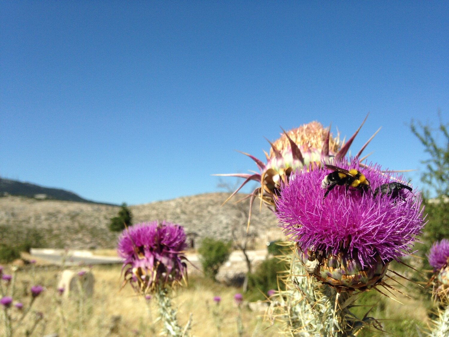 A bee resting on a pink wild thistle blossom
