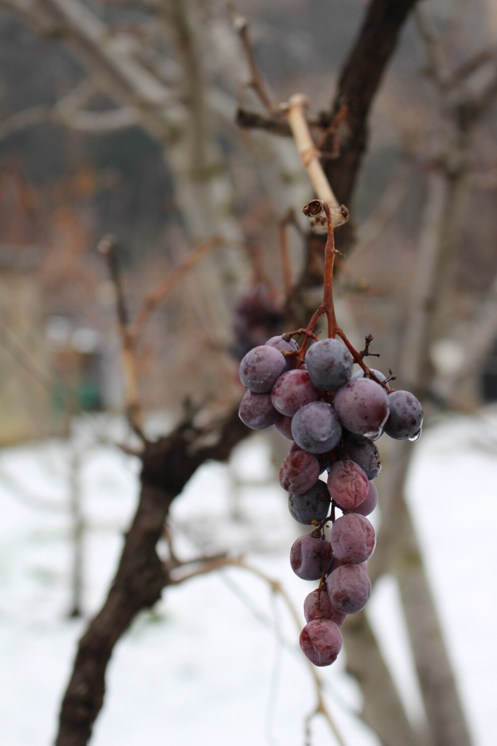 Ripe grapes on a winter vine