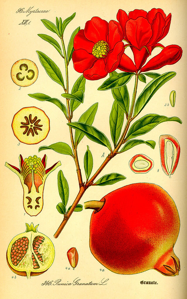 A Botanical drawing of the pomegranate