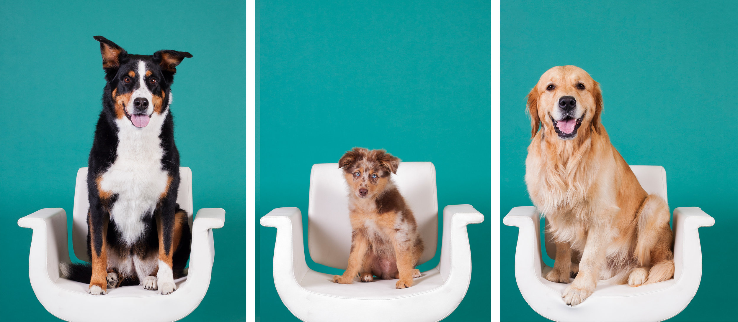 Darci's 3 dogs on chairs.jpg