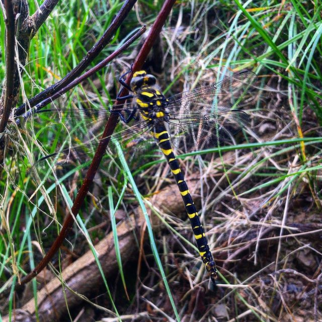 A Golden Ringed Dragonfly paid us a visit yesterday on the week of opening our woodland camping pitches....coincidence? Come and check it out for yourselves! #dragonflycamping