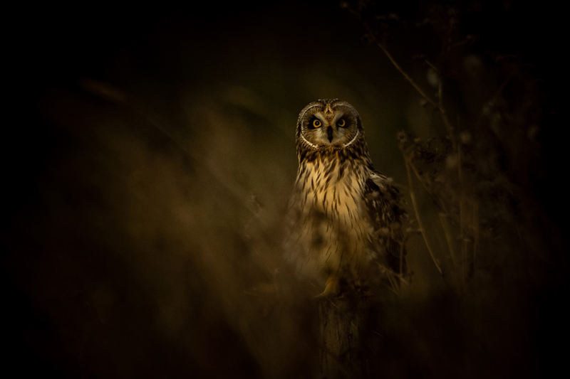 SHORT EARED OWL ON A WINTER EVENING CAMBRIDGESHIRE FENS - Jon Winnan