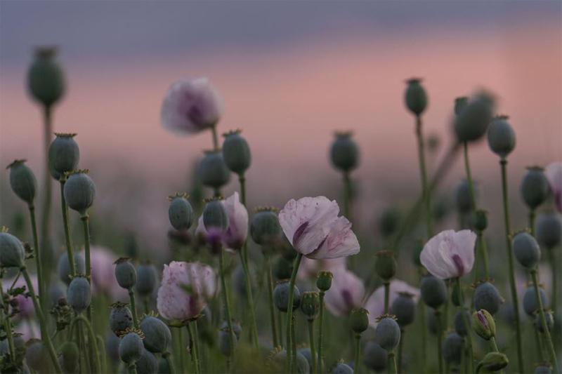 OPIUM POPPIES - Sue Woodbridge