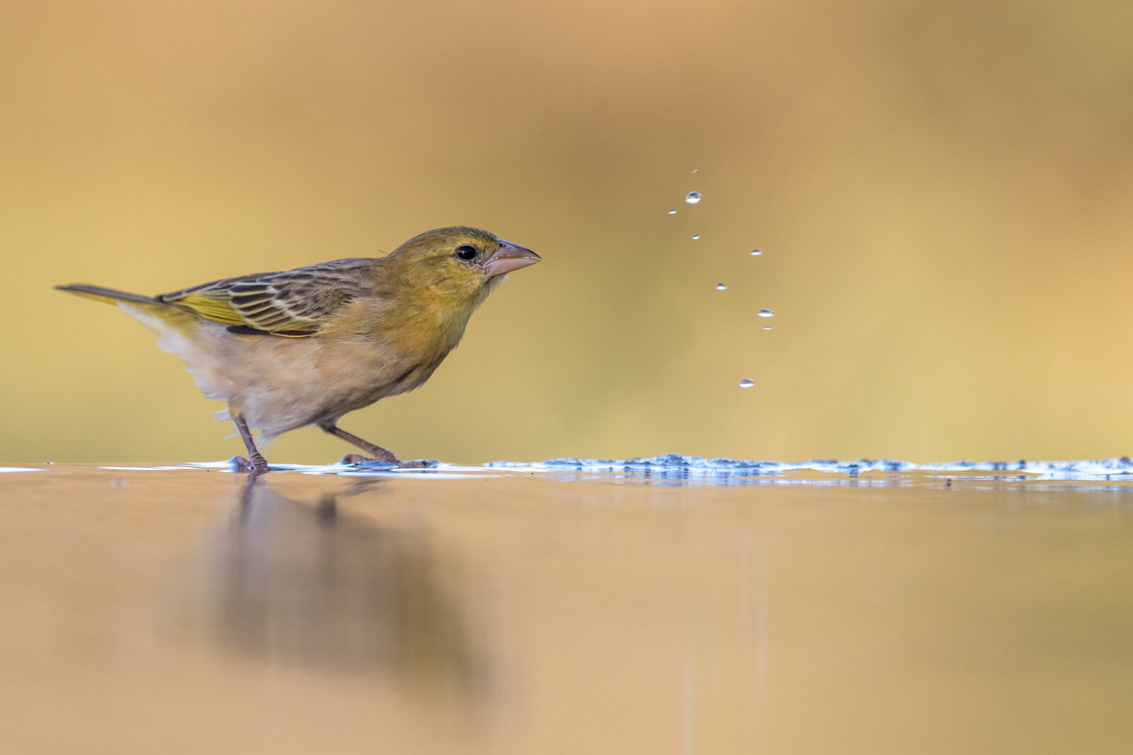 BRIMSTONE CANARY HAVING A DRINK - Nick Lewis (Best print in Class Three)