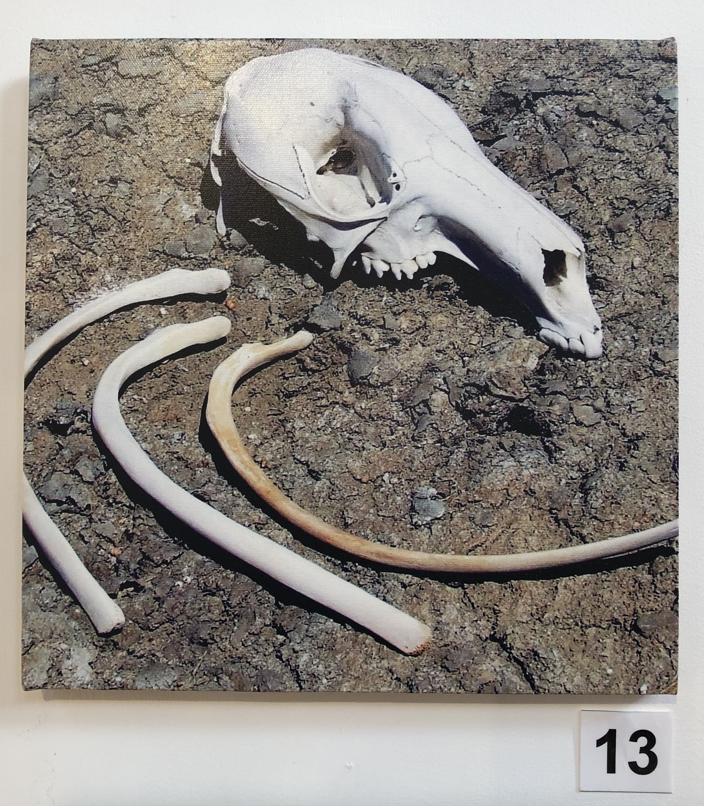 """Skull and Rib Bones - Kangaroo"" by Lisa Timms Stevens"