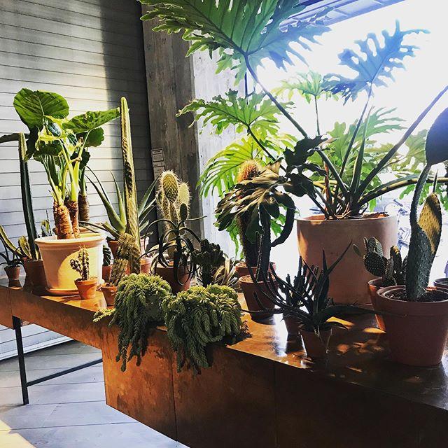 Joa...einmal bitte alles in mein Wohnzimmer liefern! Dankeeeee....🌵🤗❤️ • • • • #plants #plantgoals #plantsofinstagram #plantinspo #pflanzenmuddi #pflanzenmama #pflanzenliebe #kaktus #cactus #succulents #botanicals #botanischergarten #interior #solebeich