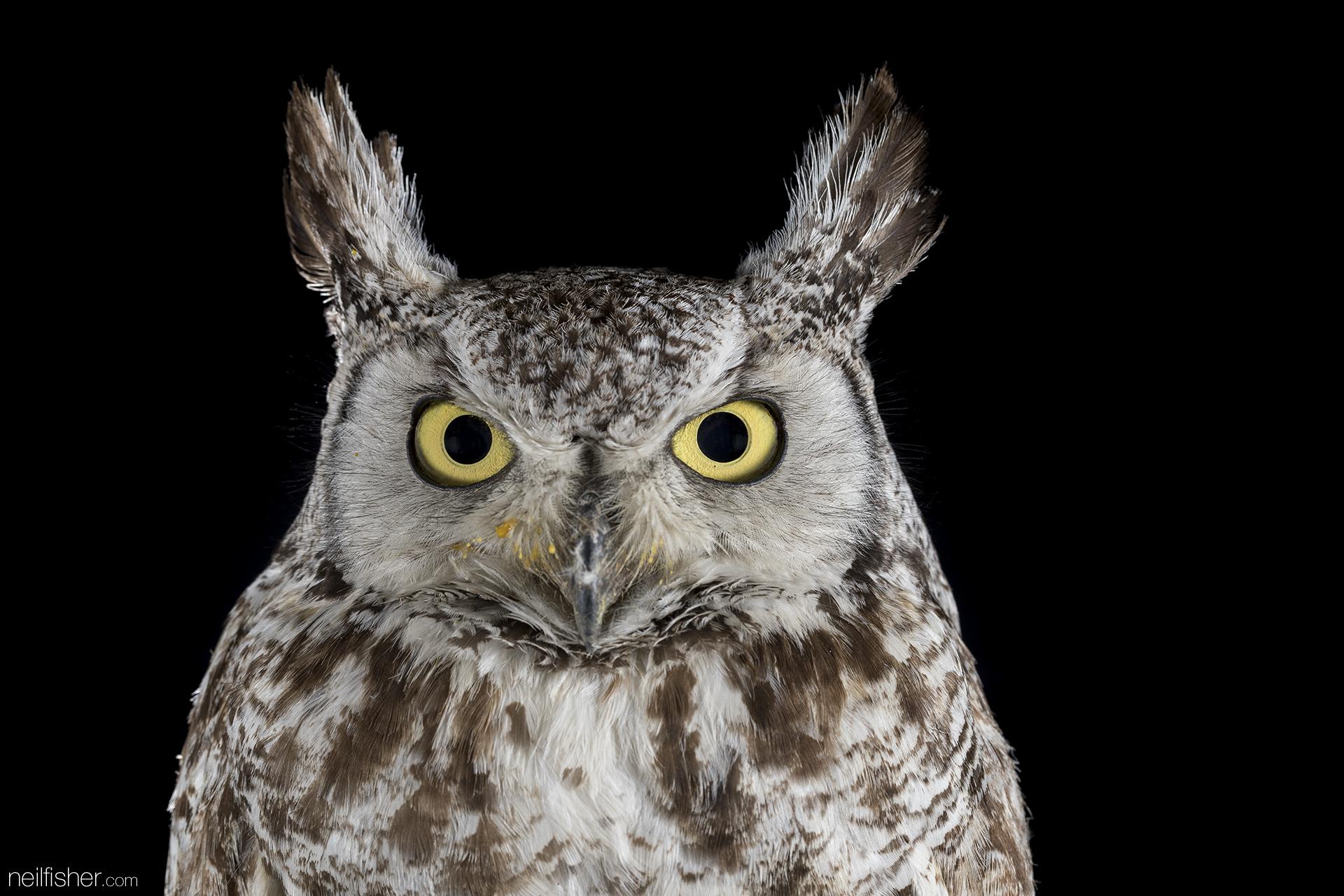 20170907 - Great Horned Owl (1) - NeilFisher.jpg