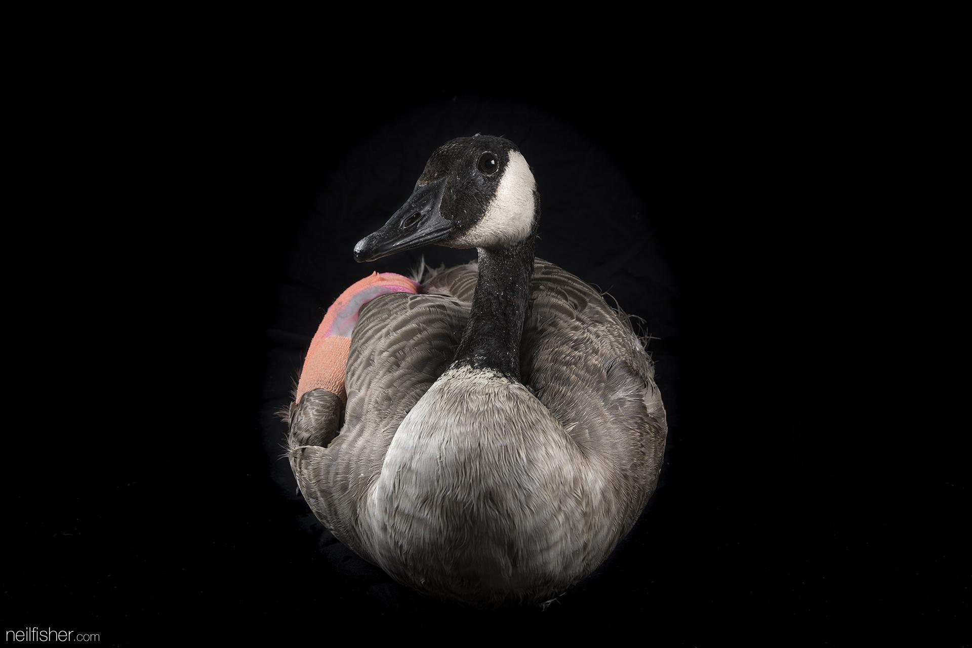 20170914 - Canada Goose (1) - NeilFisher.jpg