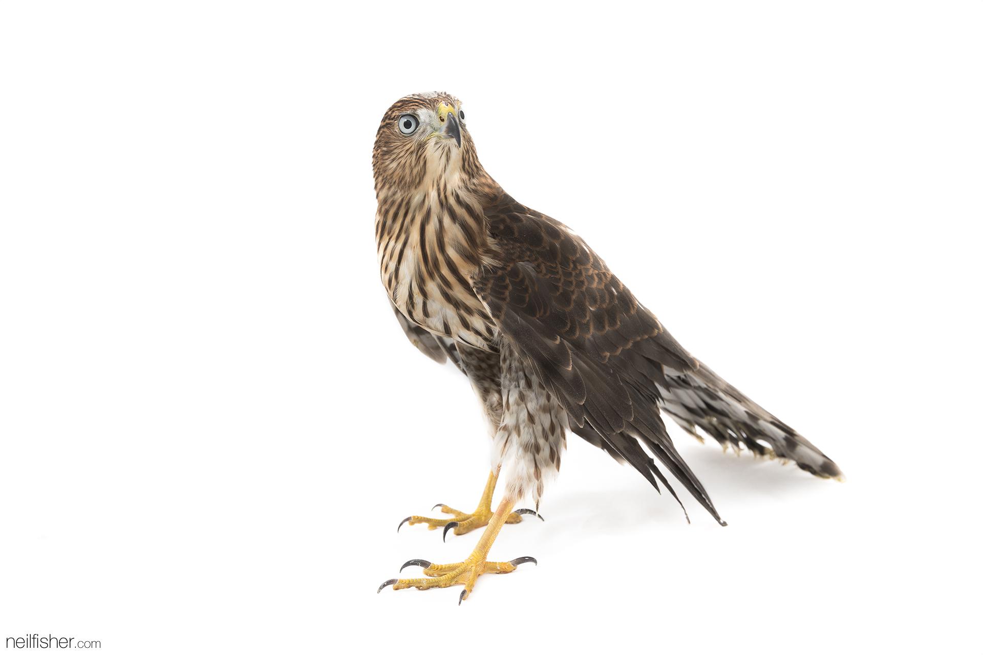 20171012 - Coopers Hawk (1) - NeilFisher.jpg