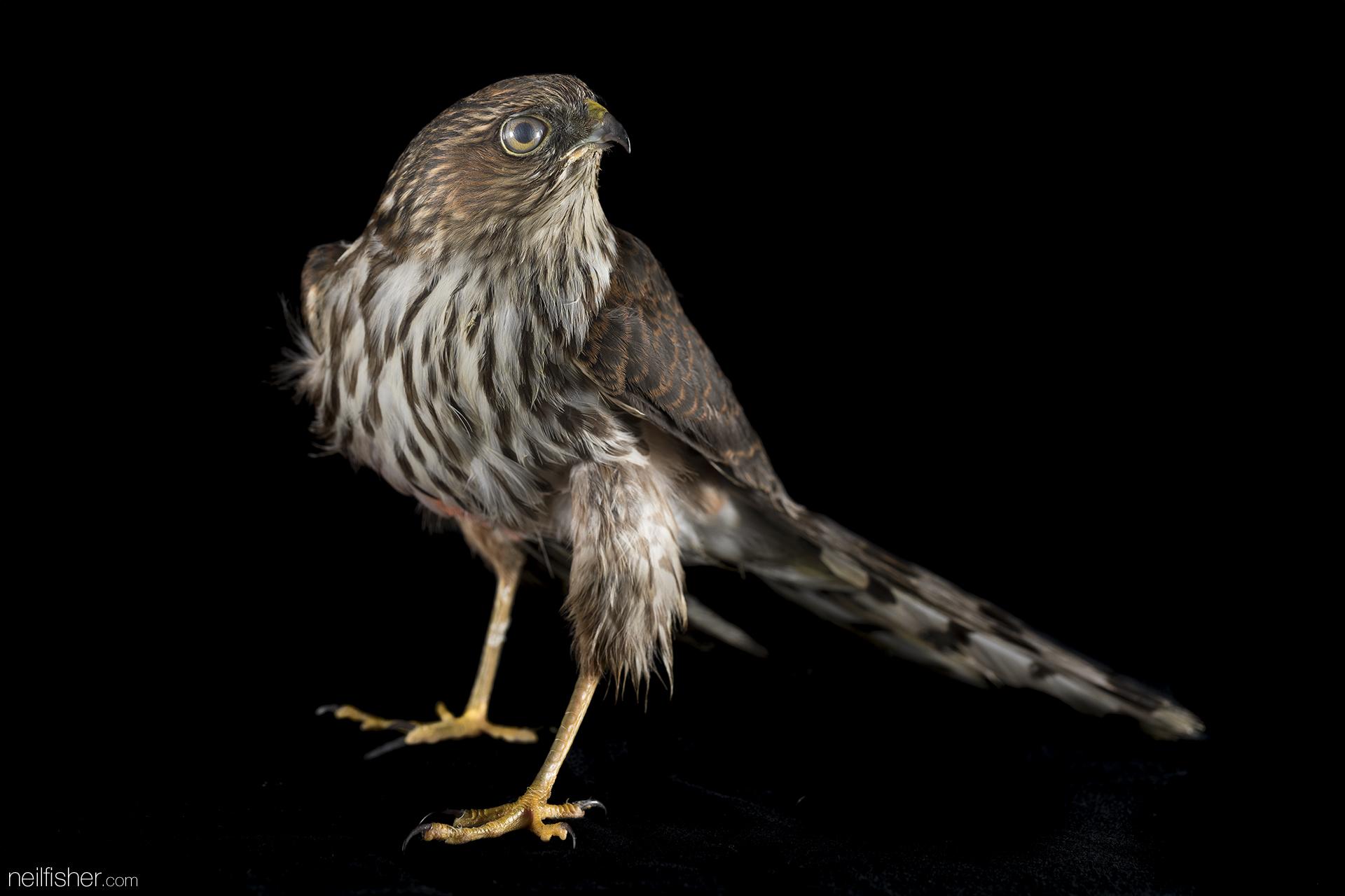 20171012 - Sharp-shinned Hawk (1) - NeilFisher.jpg