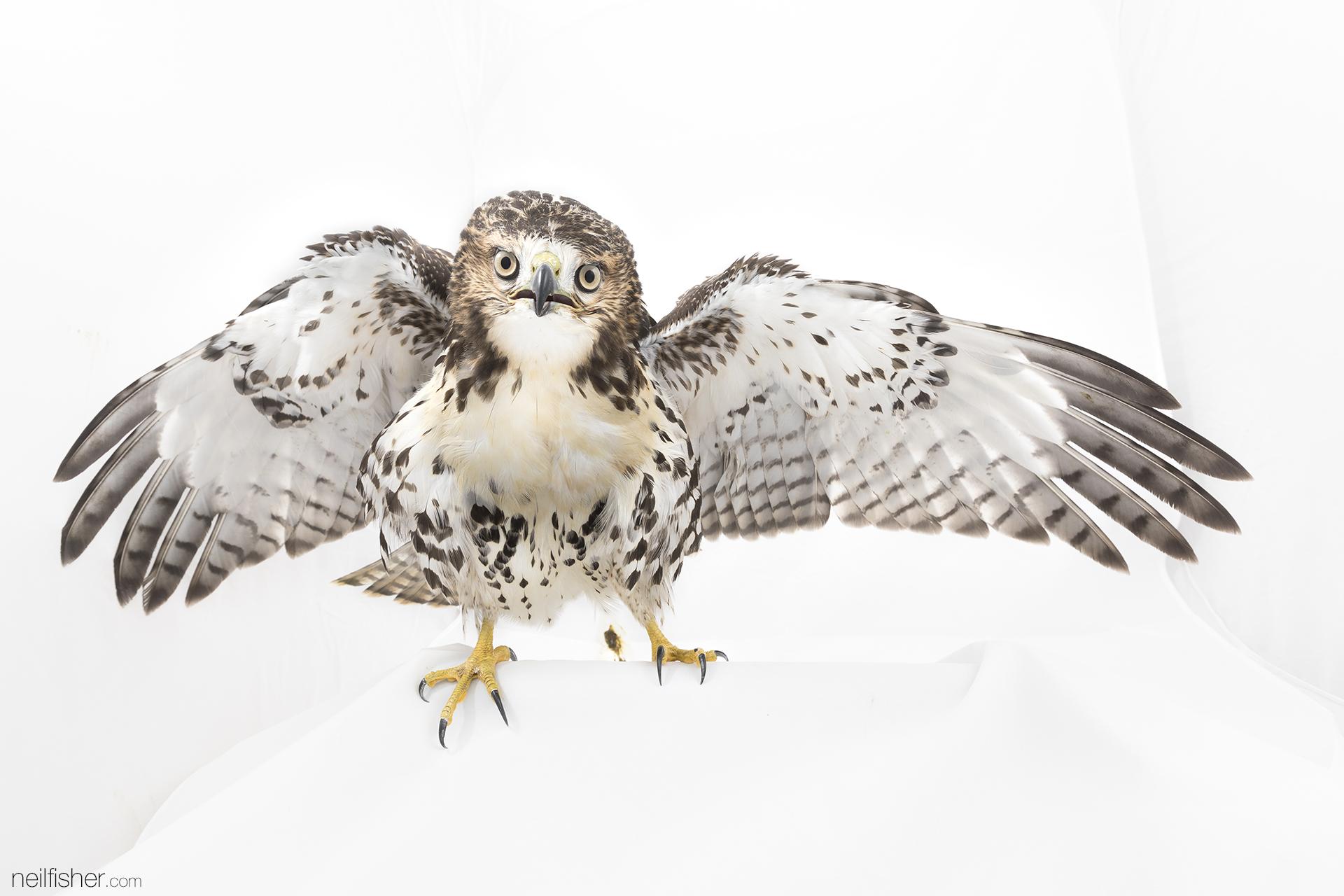 20170907 - Red-tailed Hawk - NeilFisher.jpg