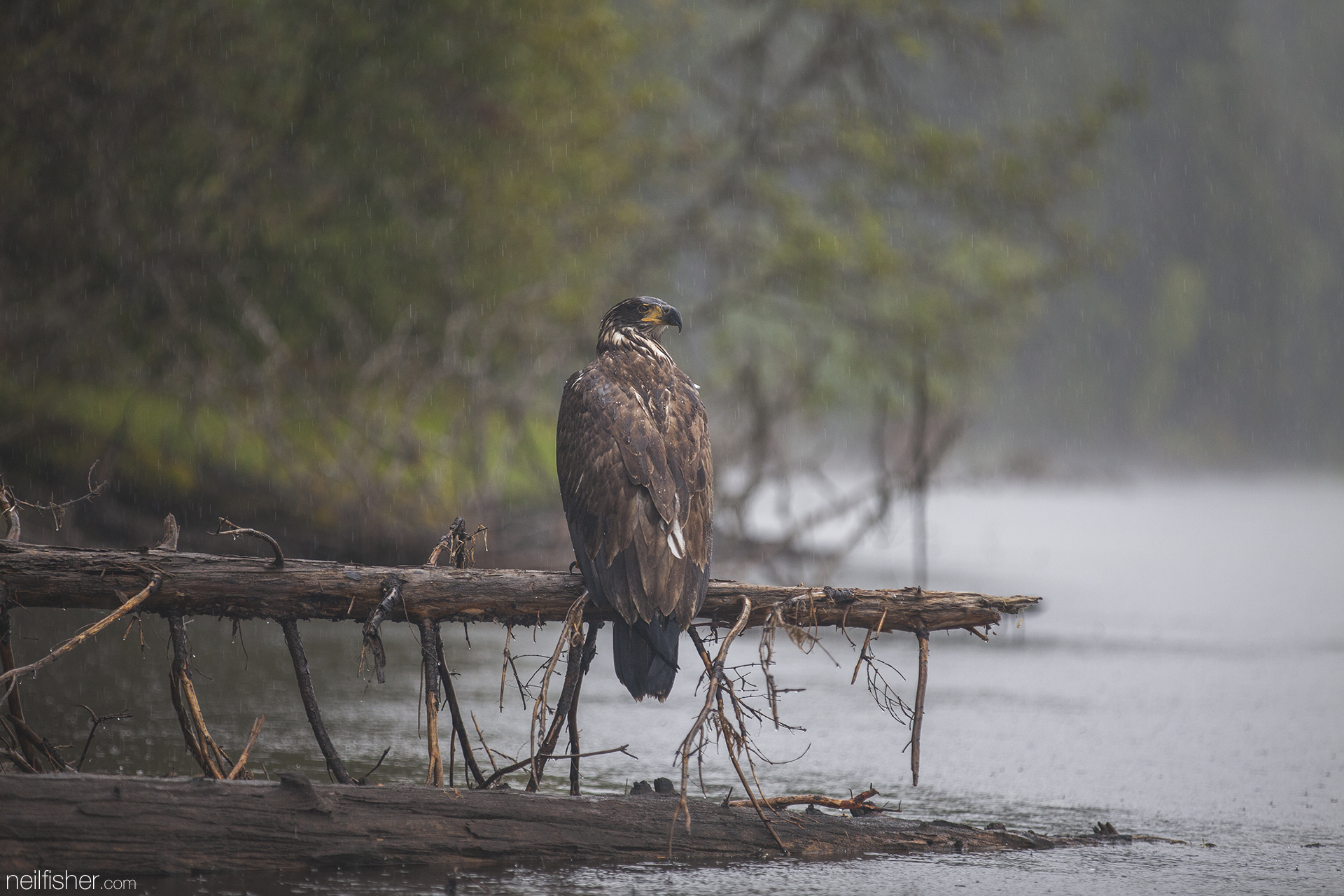 This soaking wet immature bald eagle sat very relaxed on its perch for quite some time. This photo was taken using a focal length of 200mm and isn't cropped, which should give some understanding of how relaxed this bird was. EXIF 1/320 f/2.8 ISO800 200mm