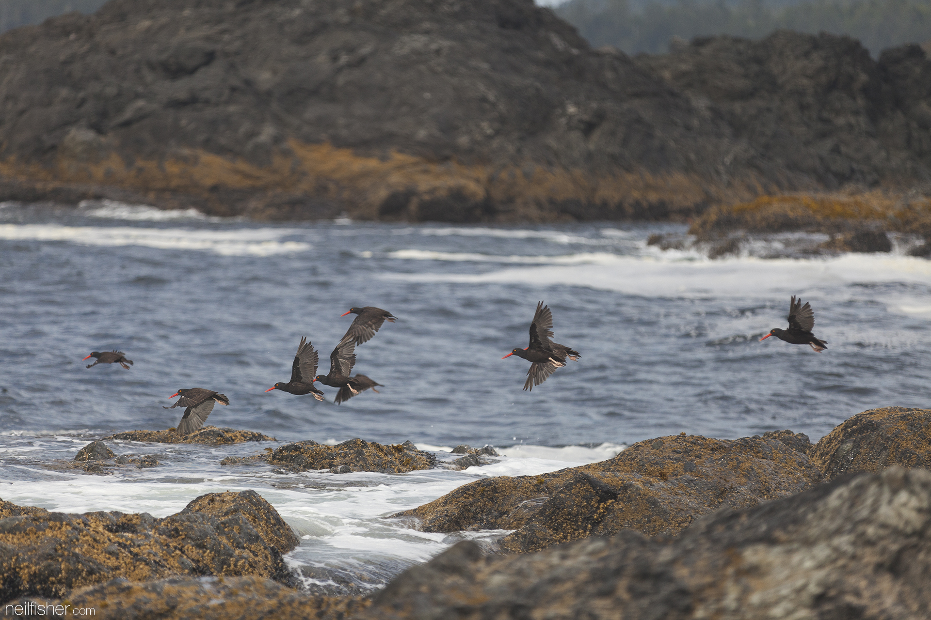 Here are a group of black oyster catchers in flight off the shore of Box Island. Ranging from the Aleutian Islands in Alaska to the coast of Baja California, these birds never stray far from shore and typically favour quieter embayments with rocky shoreline. They forage in the intertidal zone, munching on small marine invertebrates; particularly molluscs such as mussels, limpets, and chitons. EXIF 1/2500sec f/2.8 ISO400 200mm