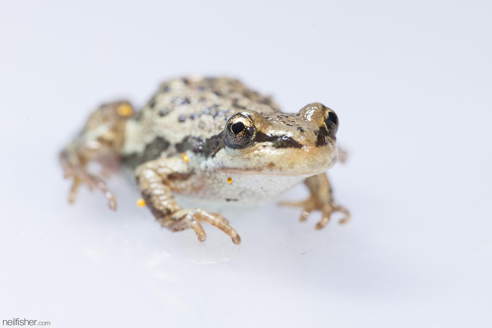 Boreal chorus frog (Pseudacris maculata) EXIF 1/160sec f/11.0 ISO200 100mm