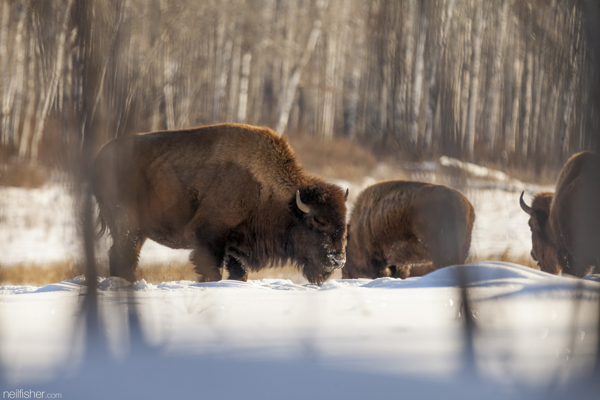 Bison gave the First Peoples of the great plains all the necessities of survival - from food, clothing, shelter and tools. It's no wonder the bison is held in such high reverence by these people.