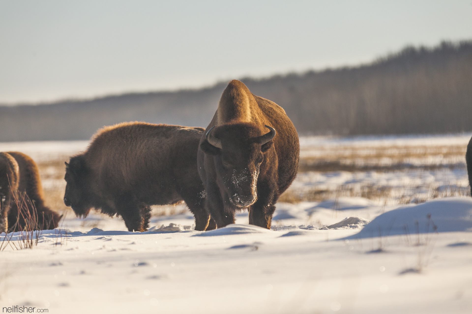 The bison's dense, scruffy coat is so well insulated that snow can collect on its back without melting.