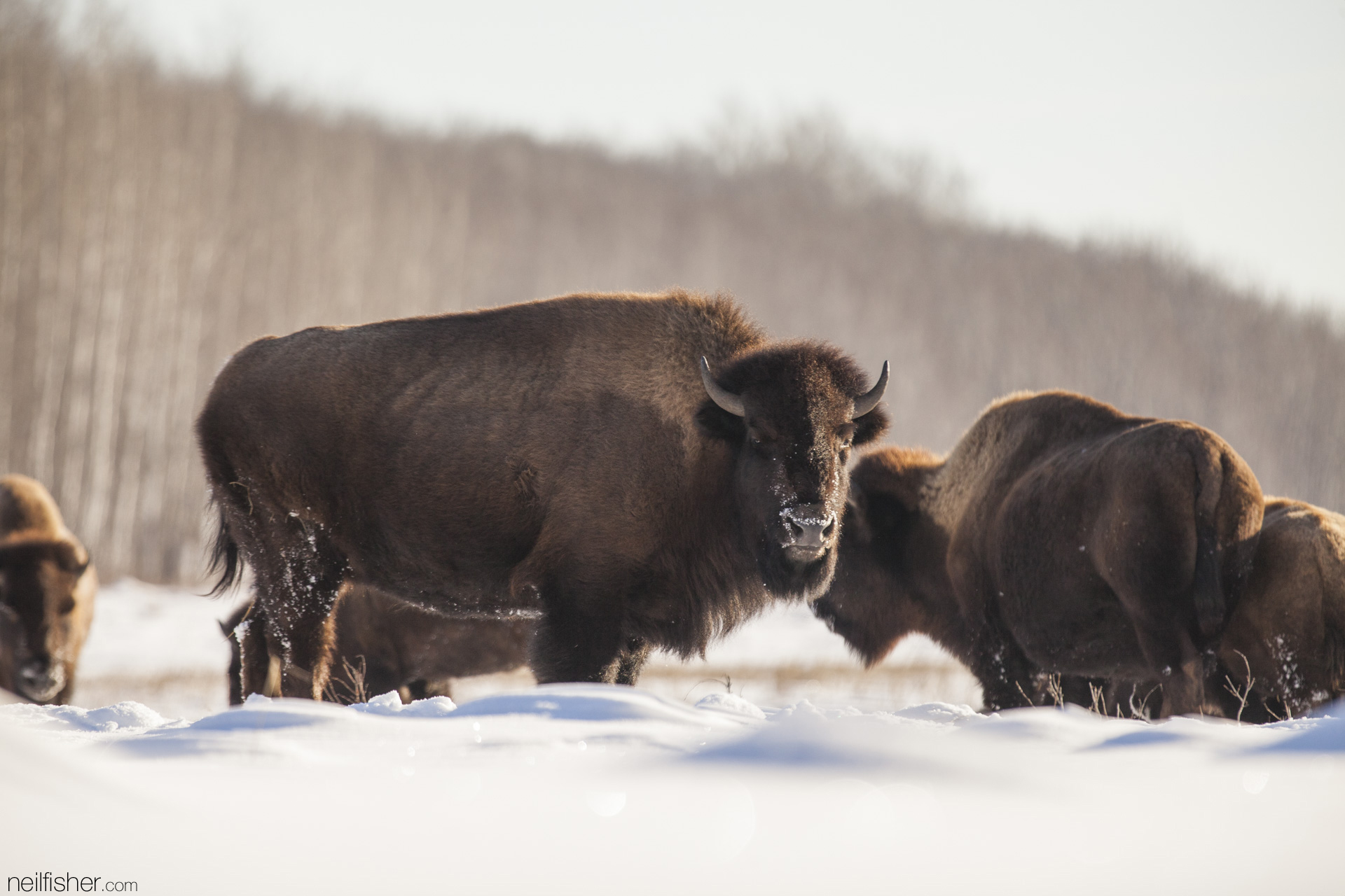 """The plains bison (bison bison bison) can be distinguished from the wood bison (bison bison athabascae) by their flat back, whereas the wood bison has a large centered hump. The plains bison also has a more developed beard and """"throat mane"""" than the wood bison."""