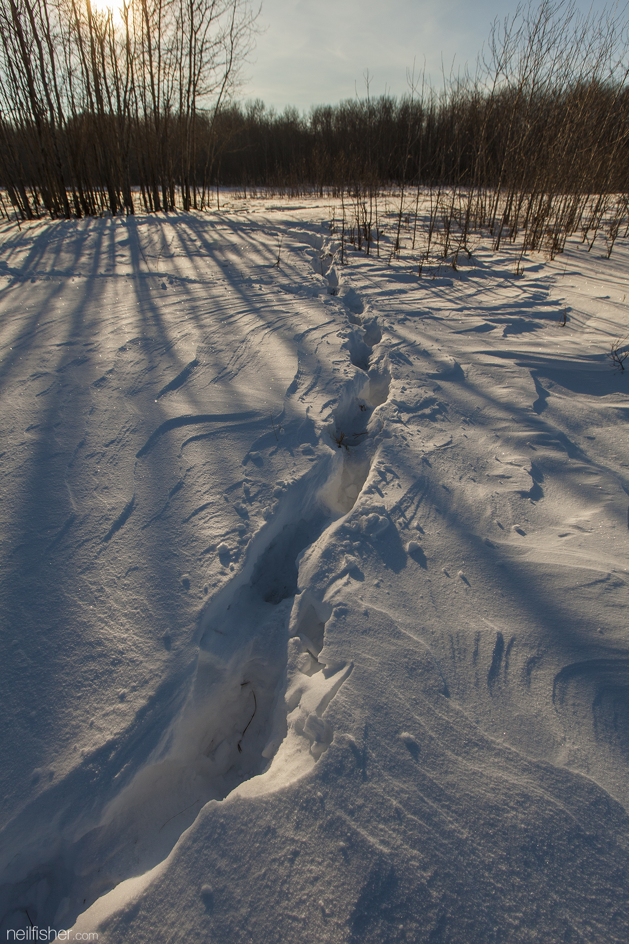 You wouldn't know it by these tracks, but fifty bison moving in single file, following in each other's foot steps passed through here. And bison don't only walk, they can also fly. Parks Canada flew 30 wood bison from the Elk Island herd to Russia as part of an international conservation project.