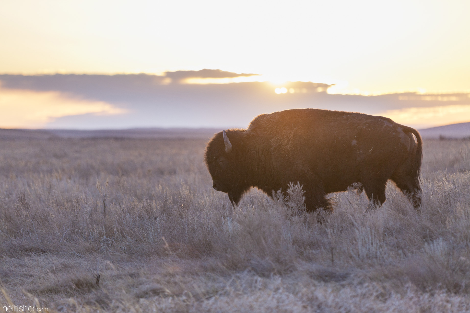 20160409 - Sunset Bison - NeilFisher.jpg