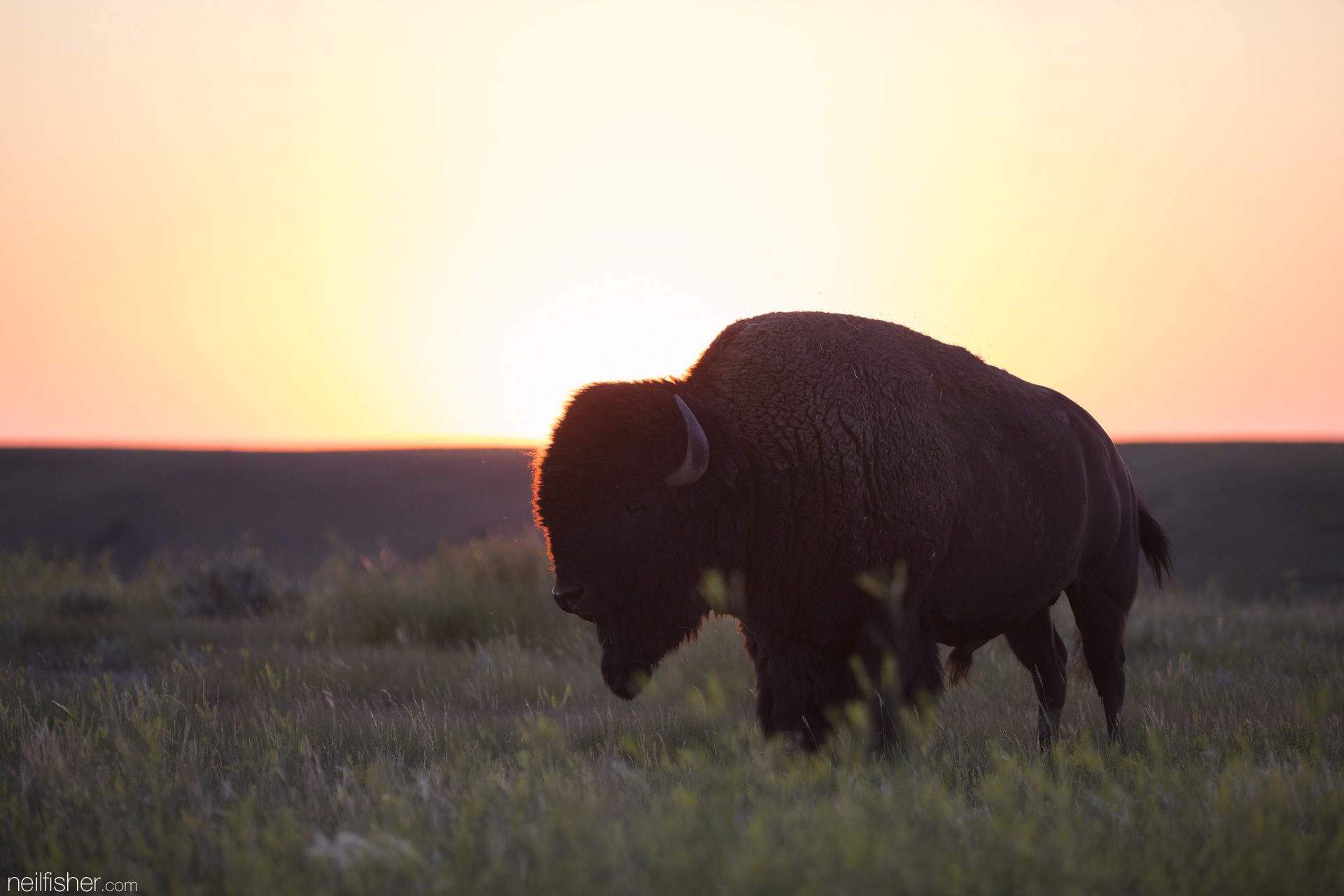 "In 1888 there were only eight bison remaining in Canada. Today there are an estimated 600,000 bison worldwide, of which, only 3% are considered ""non-commercial"" and can be found ranging throughout national parks of both the United States and Canada."