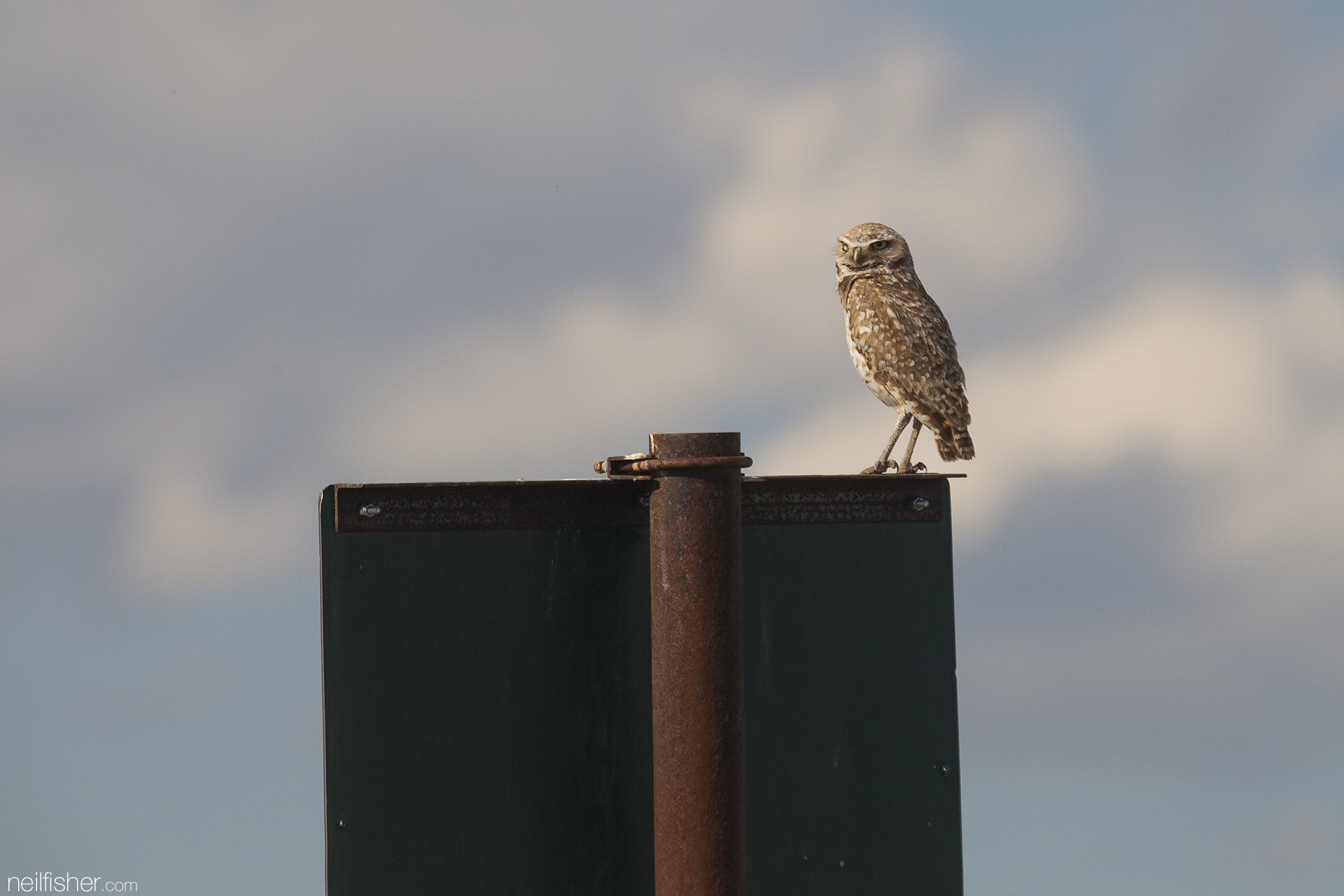 The radiating warmth of roadway asphalt heated by the relentless summer sun attracts hoards of insects. Burrowing owls searching for an easy meal are often drawn towards insect covered roads and become fatalities of speeding cars. EXIF 1/800sec f/8.0 ISO400 400mm 17:29 June 23rd, 2015