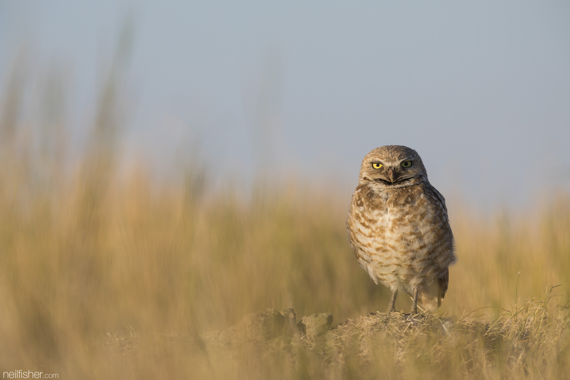 An adult male burrowing owl must provide food for his mate, his chicks and himself. A single owl family can eat 1,800 rodents and 7,000 insects in a summer.