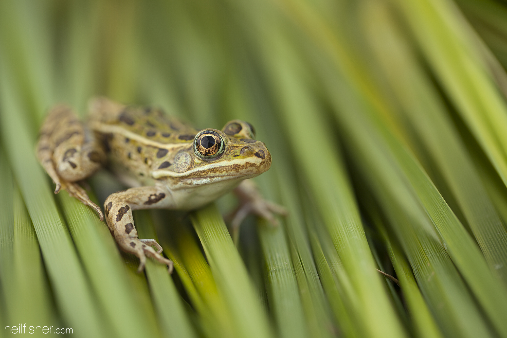 20150525 - Leopard Frog On Green - NeilFisher.jpg