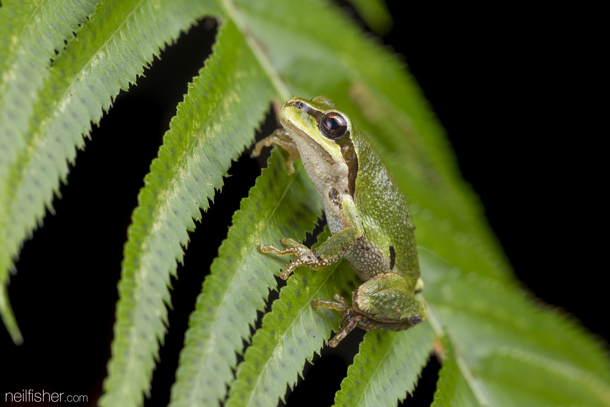 20181013 - Pacific Chorus Frog (2) - NeilFisher.jpg