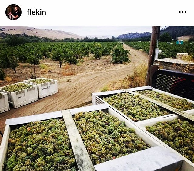 WIRZ! @flekin @craighaarmeyer just brought in their 2019er old vine Riesling. So many great producers working w/ this site! #errydayimriesling #harvest2019 . . . . . #westcoastrieslingsociety #riesling #oldvine #sanbenitocounty #dryfarming #cienegavalley