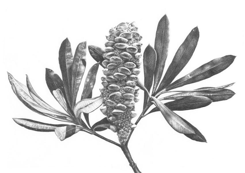 """Banksia Fruit""  Graphite pencil on Canson paper. 85x60cm. Unframed original.  Archival prints available ."