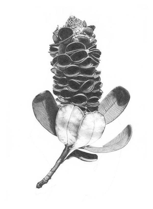 """Banksia Pod""  Graphite pencil on paper. 77x110cm. Unframed original.  Archival prints available."