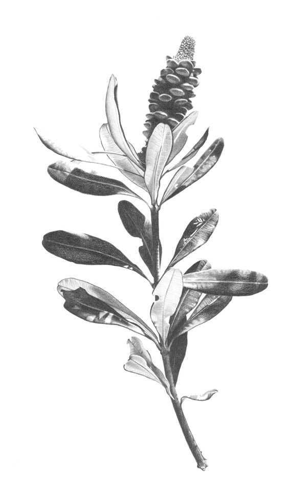"""Coastal Banksia""  Graphite pencil on Arches paper. 62x102cm. Unframed original.  Archival prints available ."