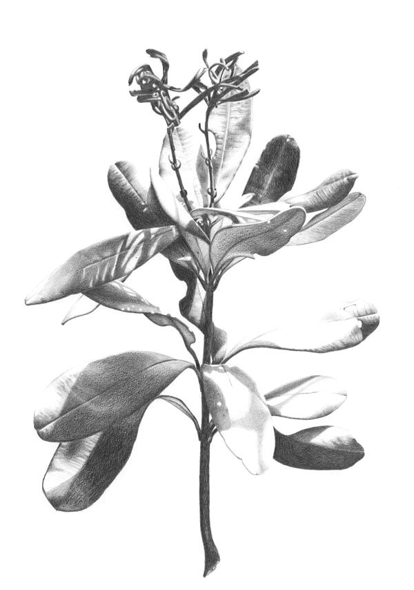 """Banksia Dance""  Graphite pencil on Canson paper. 60x80cm. Unframed original.  Archival prints available ."