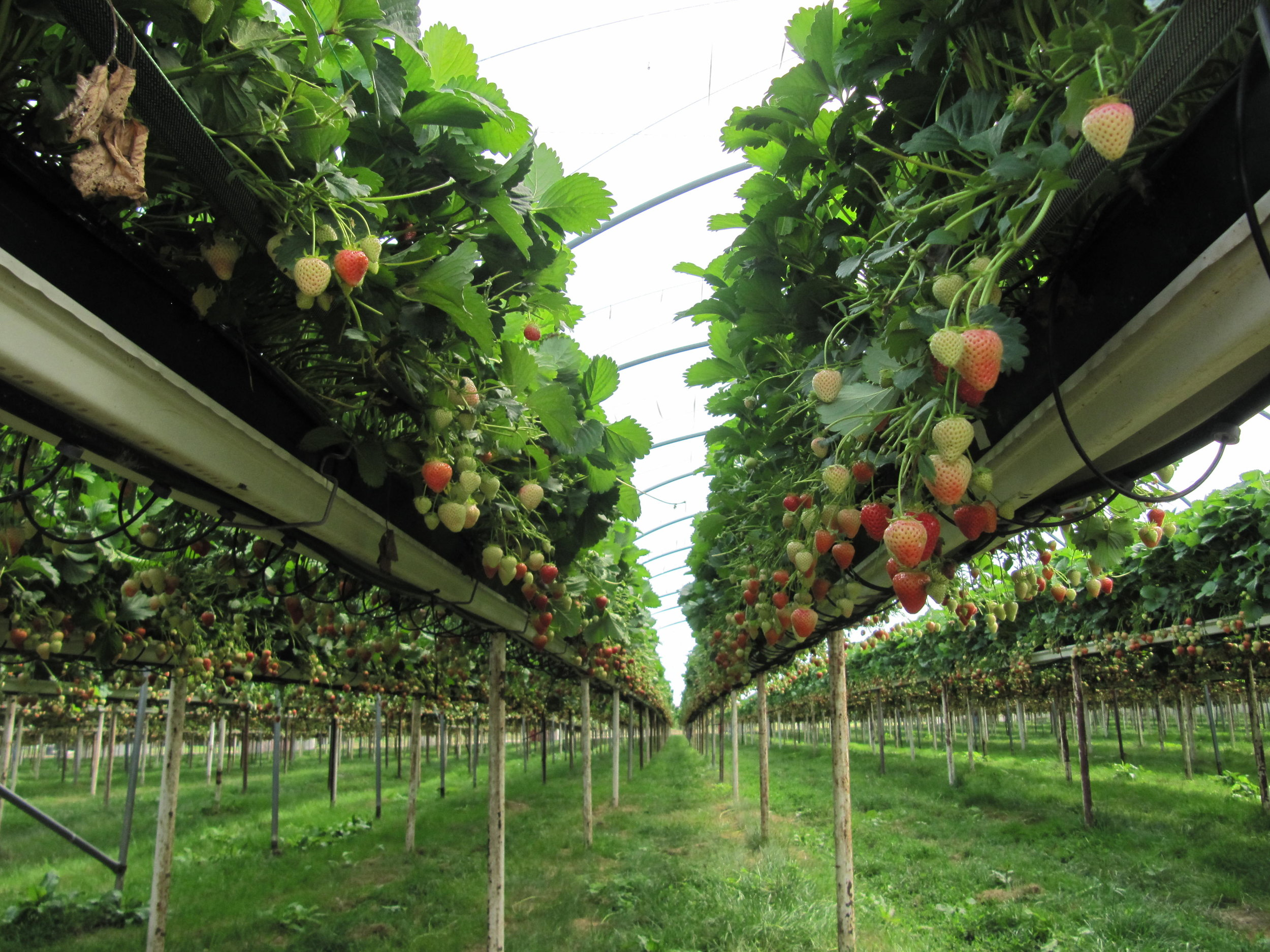Freshfields-Strawberries.jpg