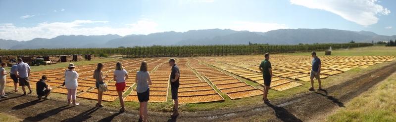 170310.pears.drying.field.800.jpg