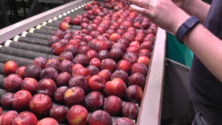 170331.Grading.red.plums.448.jpg