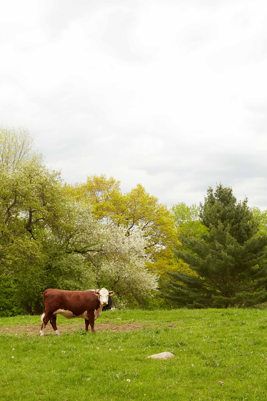 Spring_Cow_Countryside_MollyFitzsimons.jpg