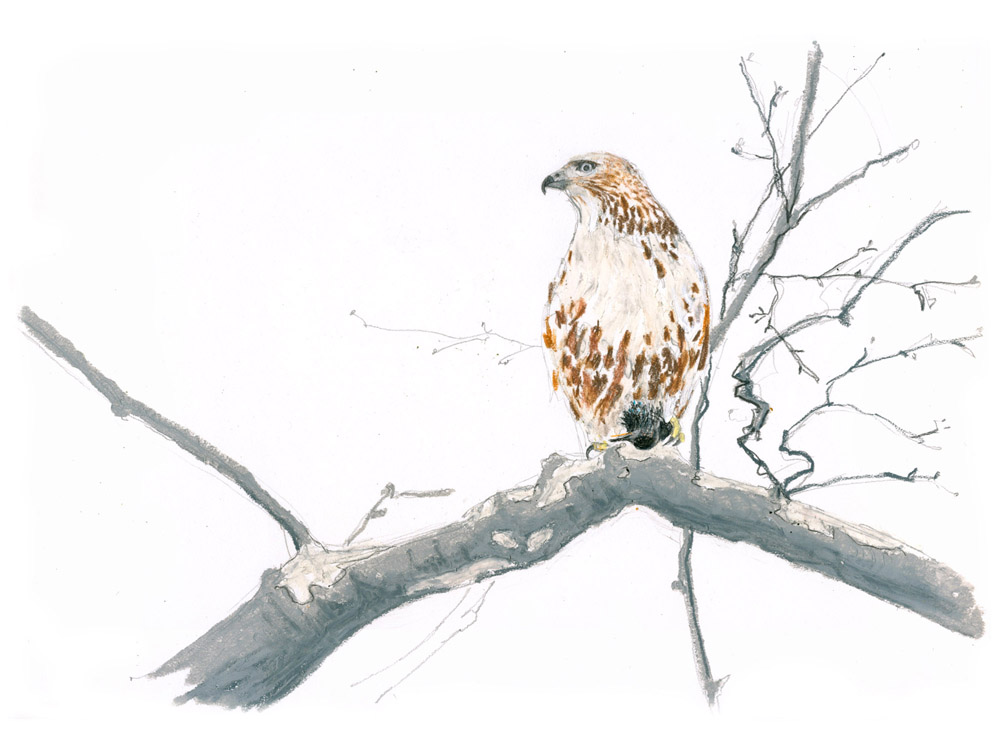 Red-tailed hawk w Starling